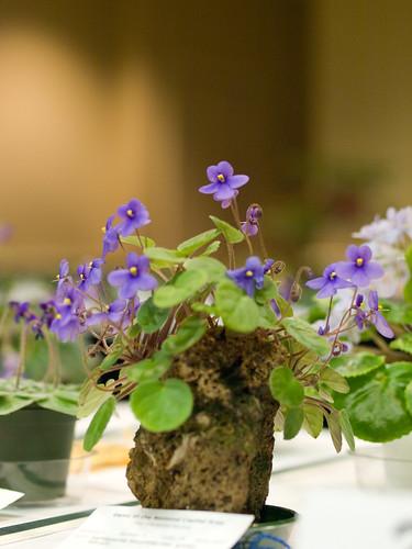 Saintpaulia ionantha ssp. grotei 'Silvert'