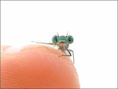 An alien on my finger (Greg 50) Tags: macro nature animal insect dragonflies dragonfly finger alien insects demoiselle damselfly insecte insectes pictureperfect libellule odonata 105mm photoqueen d90 libellules odonate odonates zygoptre macrolife beautifulmonsters