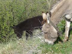 Esel 003 (MaPri76) Tags: fauna schweiz esel tier