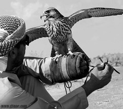 ..      ( Maitha  Bint K) Tags: bw white black father uae falcon g1 falconry  falconer   g1uae wwwg1uaecom