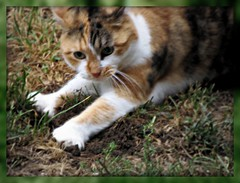 Wild Thing ,You make My heart sing~~~~~~~~ (Trish Hamme) Tags: wet grass cat stevie calico calicocat catnipaddicts