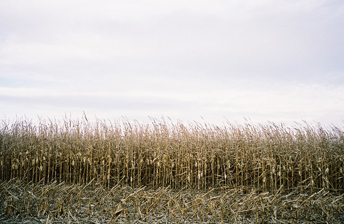windcornfield