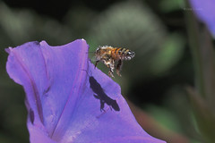 Shadow Bee (Cory Dalva) Tags: blue plant flower macro nature garden nikon purple bokeh bee honey 105mm d90