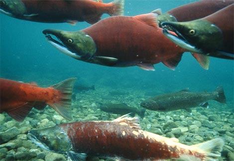 sockeye-salmon1