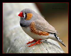 Zebra Finch (mattyboyjim) Tags: bird small beak feathers cage australasian zebrafinch bealepark