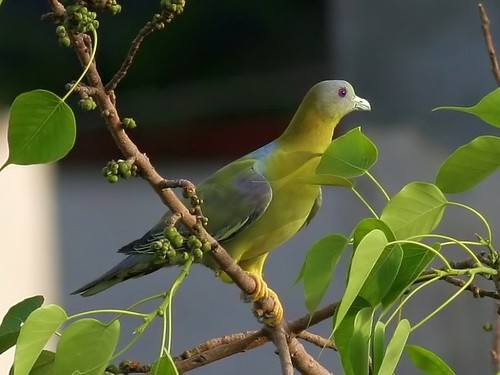 A green pigeon sitting on a fig branch