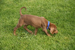 That's Using your Nose (Palmer Digital Studio) Tags: dog pet baby brown home halloween puppy toy mix day dancing chocolate tag first vizsla canine queen weimaraner german chew bandana pooch abba hungarian