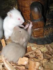 09 10 04 Jaulas y acces 052 (TeTe`) Tags: hamsters jugando juveniles