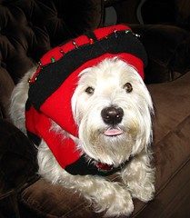 Do I Look Cute!! (ellenc995) Tags: friends halloween tongue bug riley costume trickortreat westie ladybug westhighlandwhiteterrier 2009 stickingouttongue october31 pet100 worldofanimals bestofspecialpetportraits