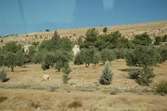 olive trees along the road to Jerash (Debarella) Tags: amman day17 egyptianholidaygoestojordan