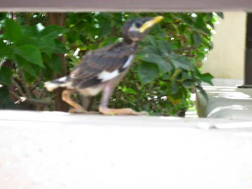 Young Mynah Bird