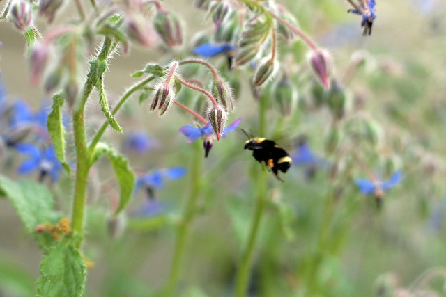 bumble bee and borage