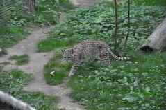 DSC_0215 (Douce Folie) Tags: lion du puma parc tigre lynx flin panthre lopard gupard lionne flins tigredesibrie lionceau tigreblanc canadalynx panthredesneiges panthrenoire couguar lynxboral chatdudsert pardelleservalcaracalmanulmargaychat