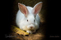 rabbit (ElizT.) Tags: city rabbit bunny animals zoo olongapo subic whiterabbit whitebunny zoobicsafari kuneho