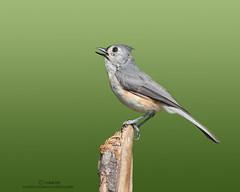Singing Beauty (Somak..) Tags: nature nikon wildlife birdfeeder sigma perch northamerica 500mm tuftedtitmouse songbirds coth supershot specanimal d300s coth5 somakroy