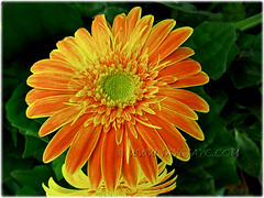 Gerbera jamesonii with yellow-margined orange rays and greenish-yellow to yellow central disk
