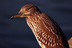 Juvenile Night Heron (Michael Skelton) Tags: nature birds bay waiting looking florida wildlife watching beak baitshop redeye sarasota hungry staring avian sarasotabay nycticoraxnycticorax wadingbird juvenilenightheron newpass michaelskelton michaeldskelton michaeldskeltonphotography