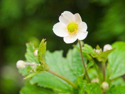 Anemone vitifolia Buch.-Ham. ex DC. 小白頭翁