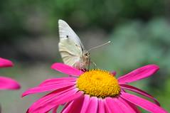 butterfly (David DIzerens) Tags: macro butterfly insect nikon potofgold d90 123nature macrolife unenaturepure