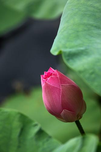 IMG_1241-w Awaiting Blossom 娇艳欲滴含苞待放