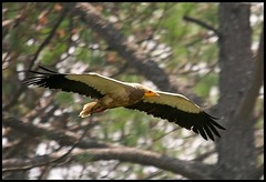 Egyptian Vulture (Neophron percnopterus) flying high in Ranikhet, India (Saran Vaid) Tags: wild india bird nature beautiful beauty birds fauna canon born fly flying inflight high scary dangerous wings eyes asia glare dof searchthebest bokeh wildlife indian birding flight beak feathers free evil sigma aves crest best hills safari raptor egyptian prey vulture elegant soe span quill spotting birdofprey omen scavenger sighting ranikhet wingtips accipitridae neophronpercnopterus egyptianvulture uttarakhand souring canoneos400d avianexcellence rubyphotographer sigma150500 vosplusbellesphotos slbflying sigma150500mmf563dgoshsm