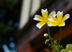 poached egg bokeh.. (*Psycho Delia*) Tags: flowers white sunshine yellow bokeh theworldwelivein limnanthesdouglasii clanflickr poachedeggplants