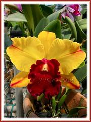 Blc. Toshie Aoki 'Pizazz' AM/ AOS (Brassolaeliocattleya hybrid) at Serendah International Orchid Park