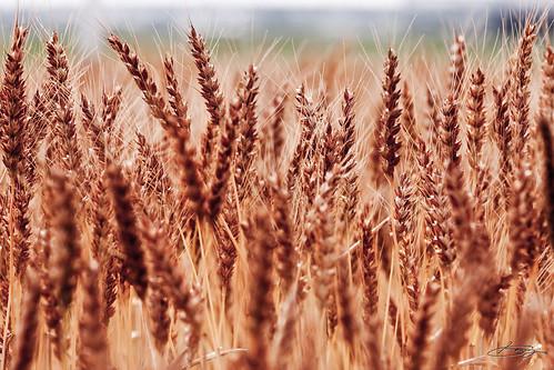 大地にしっかり麦畑。