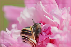 Inspektion (Cornelia G.Becker (soulll59)) Tags: pink flower macro animal canon germany garden deutschland blossom snail rosa nrw blume makro blte sonne garten schnecke tier pfingstrose masterphotos canon400d canoneosdigitalrebelxti anawesomeshot themacrogroup soulii59 soulll59 corneliagbecker