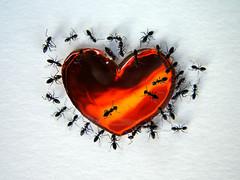 Sweetheart (Dragan*) Tags: macro love insect photo amazing candy heart group ants getty the dragantodorovic platinumheartaward