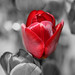 Red Tulip Selective Colouring