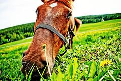 Greener Pastures (Espen Dalmo) Tags: horse green grass norway norge fisheye pasture land upclose gress eng hest beitemark