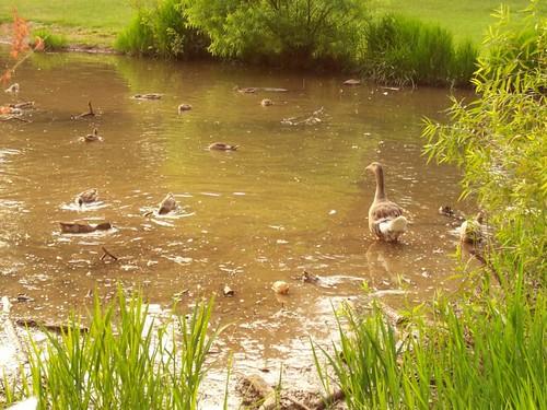 Bond Park Geese