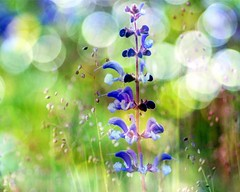 C H A O S (Miss K.B.) Tags: blue light flower nature colors ilovenature flora colorful chaos dof bokeh quote details explore nikkor frontpage blooming 105mm 105mmf28gvrmicro bokehlicious nikond80