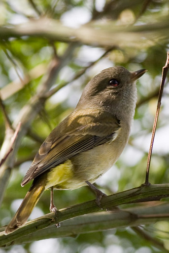 female Golden Whistler