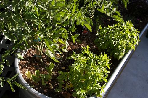 holy shiz! my basil is GROWIING