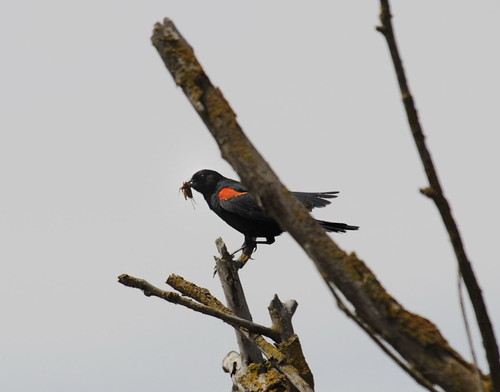 Red-wing Blackbird - dad with snack
