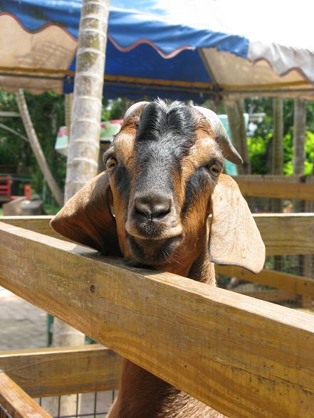 好愛拍拍的羊