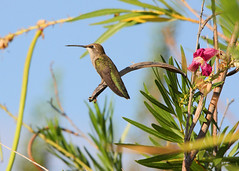 A Perch In Hummer Heaven (jhaskellus) Tags: arizona bird phoenix hummingbird desert hummer desertbotanicalgarden wildflowertrail dbg topshots mywinners abigfave platinumphoto concordians natureselegantshots jhaskellus jhaskell jackhaskell