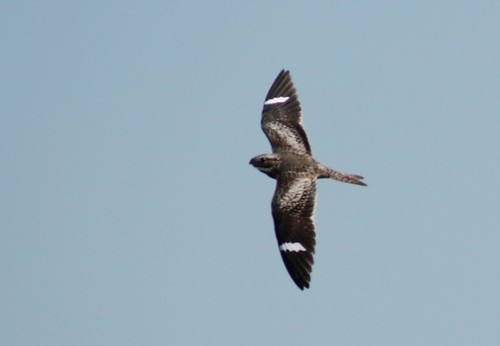 Common Nighthawk - 5/29/2009