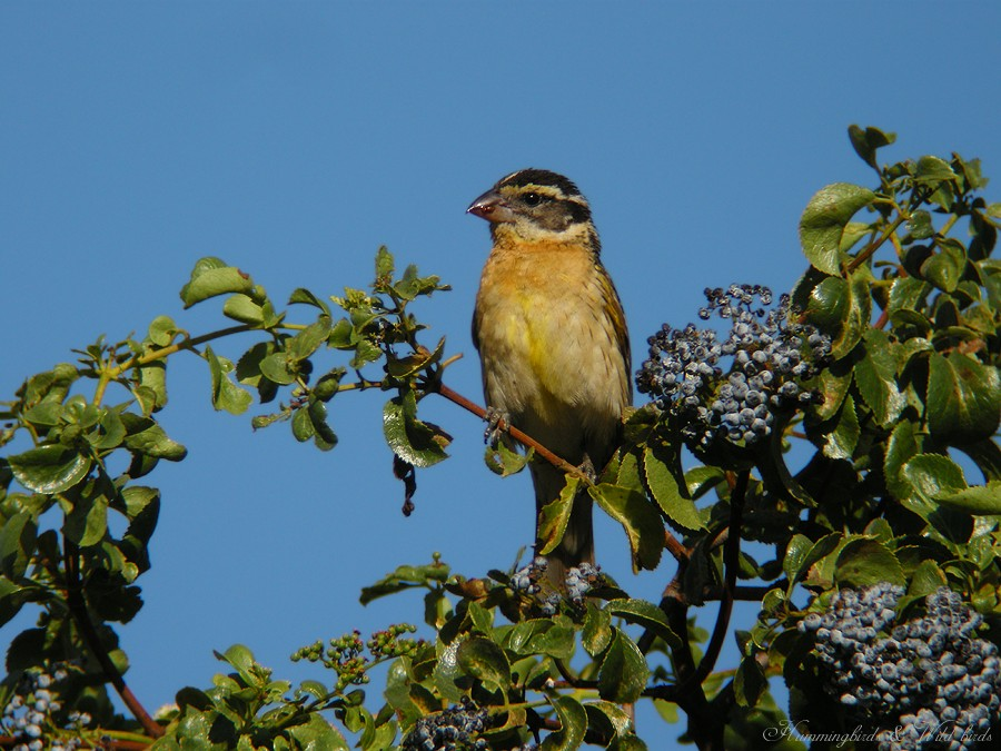 Black-headed Grosbeak07091