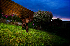 Troy in Action (andrewwdavies) Tags: shadow dog pet brown cute green woof beautiful garden puppy fun big eyes play action chocolate hound ears canine running explore sleepy age tired spaniel cocker pup liver softbox thebeast gundog sadface 10weeks hotshoe offcameraflash explored ettl strobist offcameracord ettlii canonefs1022f3545usm ultrawideanlge canon40d canonspeedlite580exii andrewwilliamdavies oce2 24inchezfold