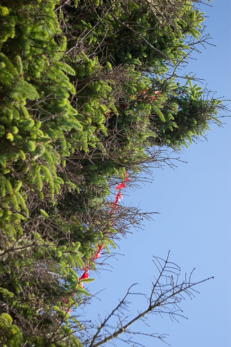 Kite eating tree 2