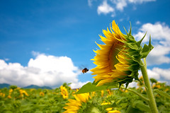 (TheJbot) Tags: summer sky color japan clouds colorful bee sunflower  jbot  thejbot