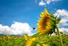 いらっしゃいませ (TheJbot) Tags: summer sky color japan clouds colorful bee sunflower 日本 jbot ひまわり thejbot