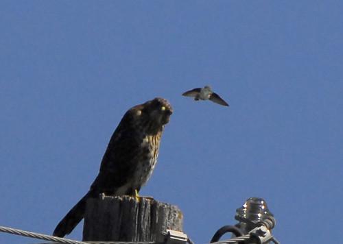 humming hawk