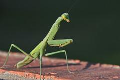 Mantis - Topaz Detail (Jeff Clow) Tags: macro mantis texas dfw prayingmantis 1exp