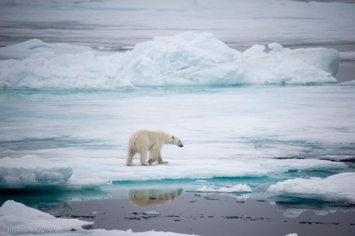 Polar Bear Hunting on Ice Flows, Svalbard