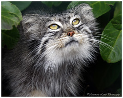 Big Cats at the  WHF Kent - Pallas cat