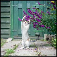 Playing /  (lynnlin) Tags: summer white green cat mediumformat purple fujifilm milou reala100 epson4490 flexaretvii thecatwhoturnedonandoff